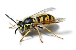 250px-European_wasp_white_bg