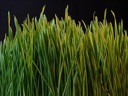 250px-Grass_dsc08672-nevit